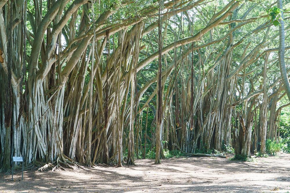 林立する巨大なバニヤンツリー。圧倒される大きさです(Photo/Tomohito Ishimaru)