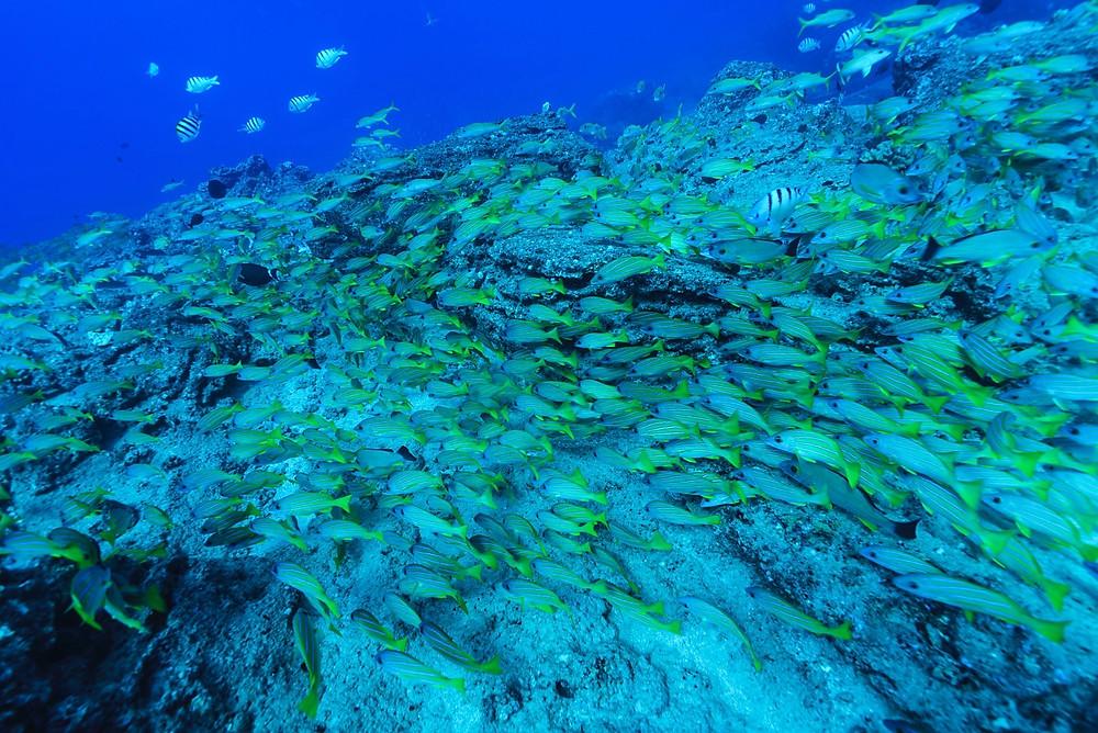 水底をうごめくように群れるヨスジフエダイ(Photo/Tomohito Ishimaru)