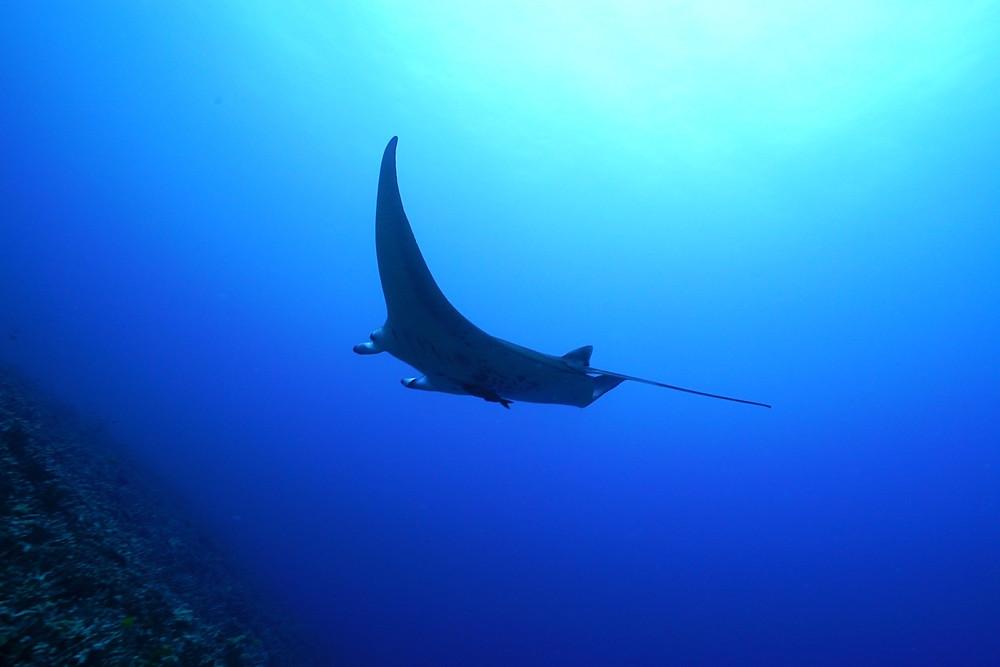 大きなものでは四畳半くらいになる人気のマンタ。優雅な泳ぎは絵になるねぇ。ワイキキ近辺で何度か見てます (PHOTO/Tomohito Ishimaru)