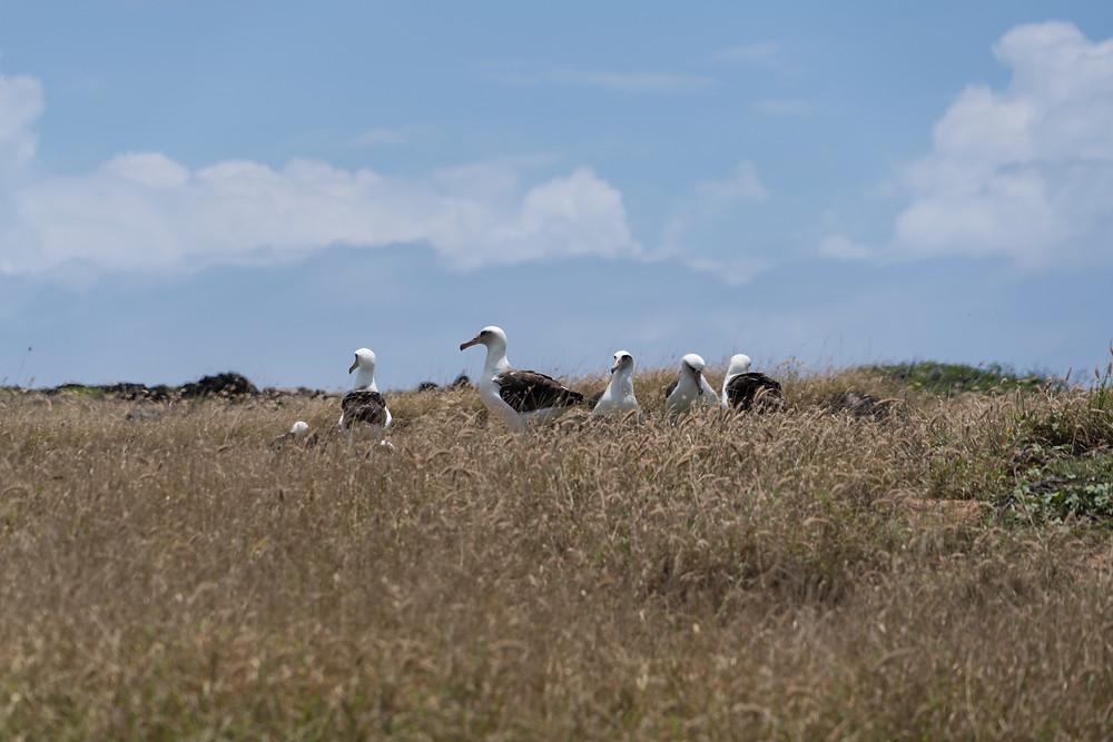 巣に集まる親鳥たち。巣へは近づけないので、望遠レンズで撮影します。これは300ミリレンズで撮影(Photo/Tomohito Ishimaru)