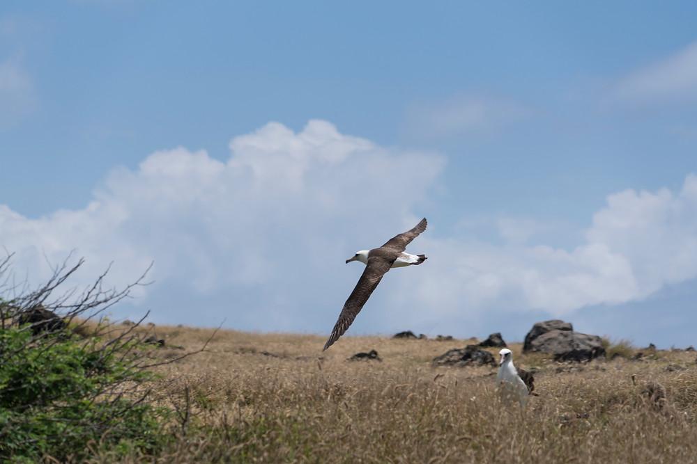 なかなかに素早く、写真におさめるのは結構大変です。保護されているためか人をあまり恐れないので結構近くに飛んできます (Photo/Tomohito Ishimaru)