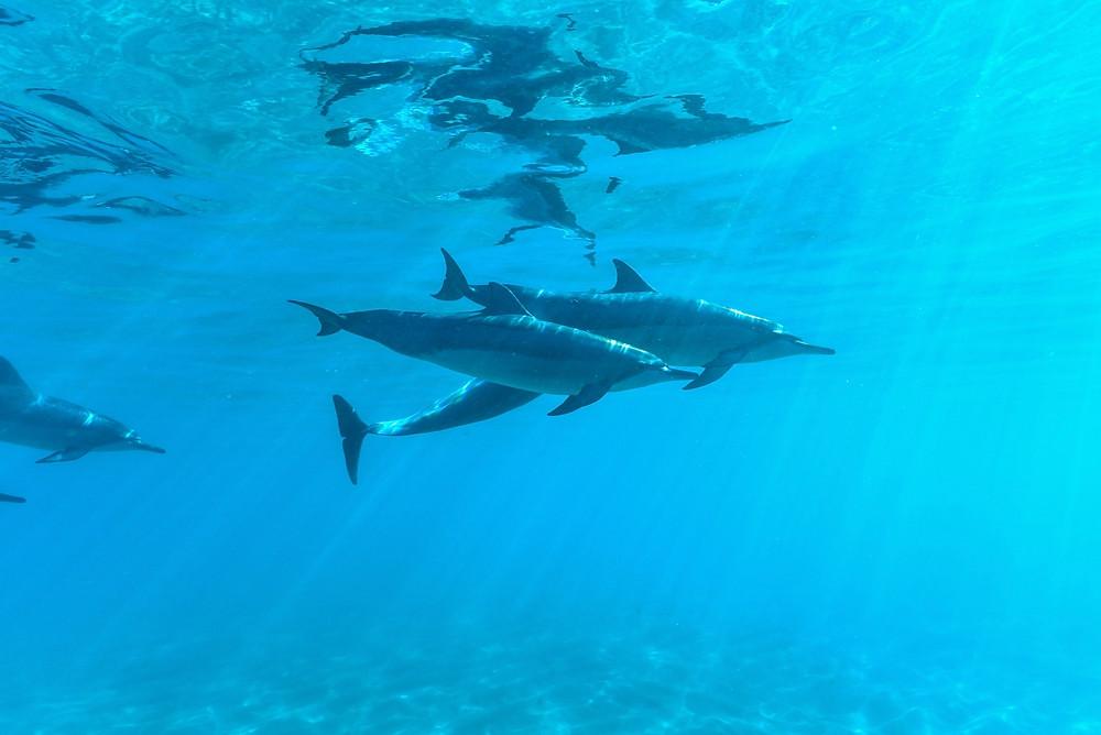 ハワイで見られるイルカはハワイアンスピナードルフィンというハワイの固有種。小型でとても美しいイルカです (PHOTO/Tomohito Ishimaru)