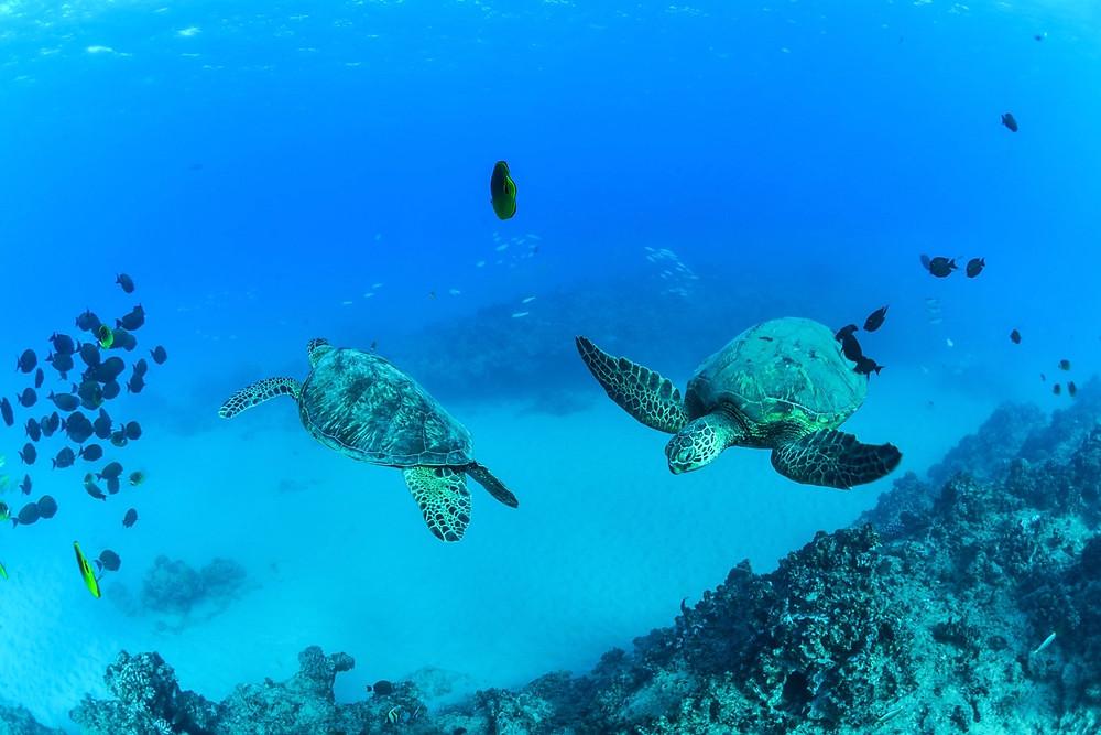 こんな感じでのんびり泳いでます。人を見ても逃げません (PHOTO/Tomohito Ishimaru)