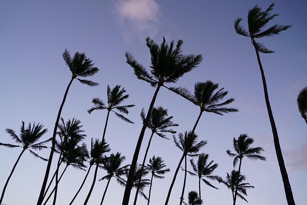 ビュービュー吹かれるヤシの木。タンポポみたいに揺れてた (PHOTO/Tomohito Ishimaru)
