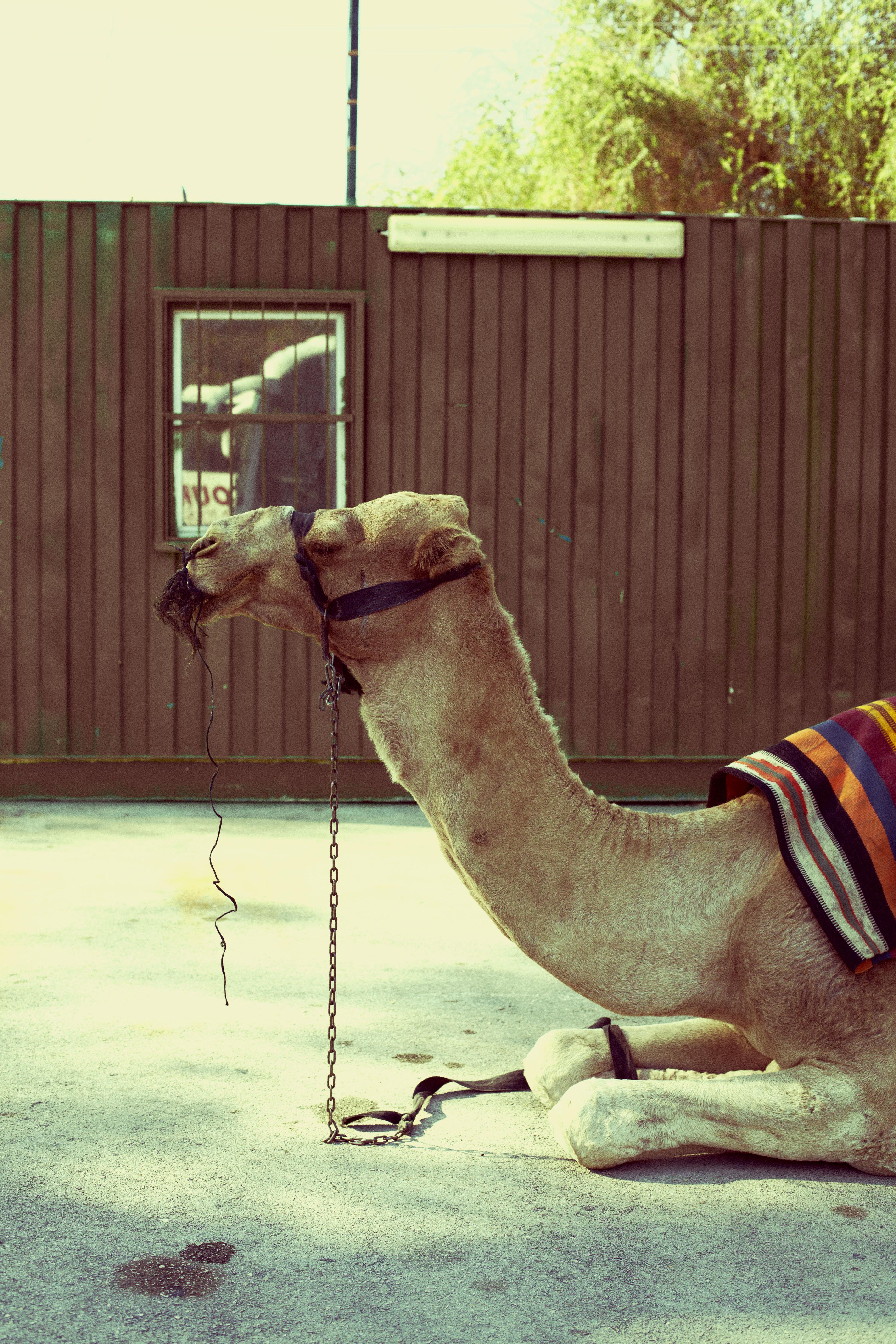 chameau 2