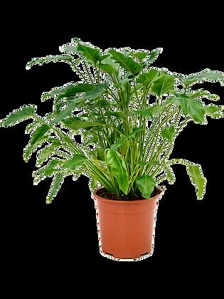 Philendendron xanadu 60 cm