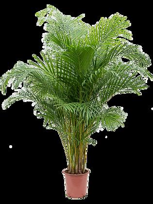 Areca lutesens (Hauteur = 160 cm)