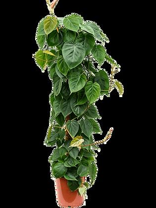 Philendendron scandens 120 cm
