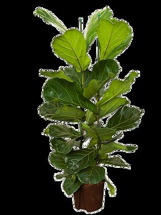 Ficus lyrata 110 cm
