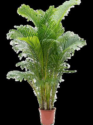 Areca lutesens (Hauteur = 190 cm)