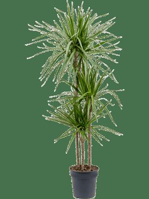 Dracaena marginata (Hauteur = 150 cm)