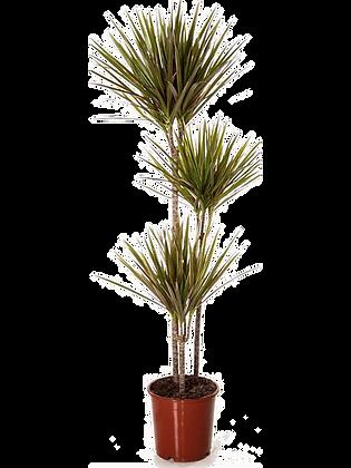 Dracaena bicolor (Hauteur = 150 cm)