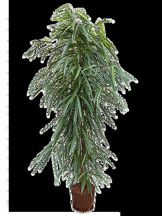 Ficus alii 150 cm