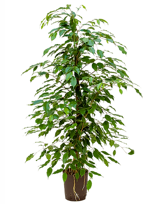 Ficus benjamica 125 cm