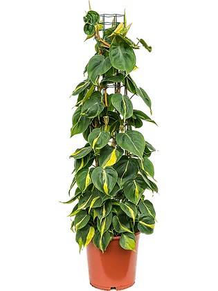 Philendendron scandens 'Brasil'  110 cm