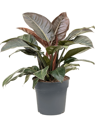 """philendendron """"Imperial Red"""""""
