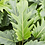 Thumbnail: Philendendron xanadu 60 cm