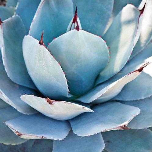 Sexy Succulent 10x10 CANVAS
