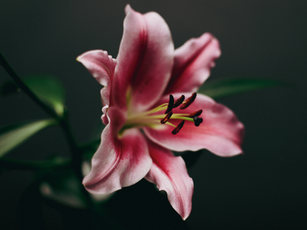Lilie.jpg
