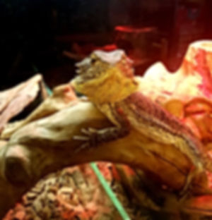 reptile party bearded dragon
