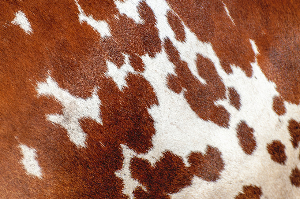 Abstract background of the cow skin .jpg