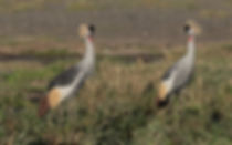 Grey Crowned-Cranes