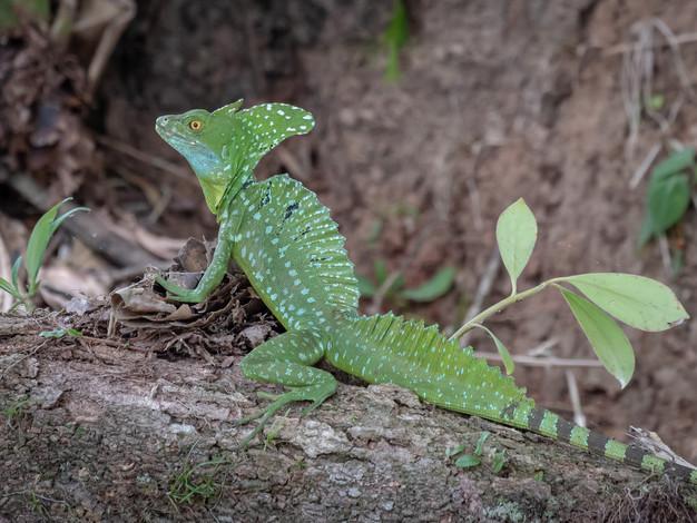 Emerald (Plumed) Basilisk