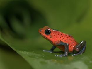 Strawberry Poison-Dart Frog
