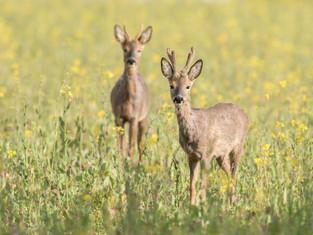 Roe Deer (bucks)