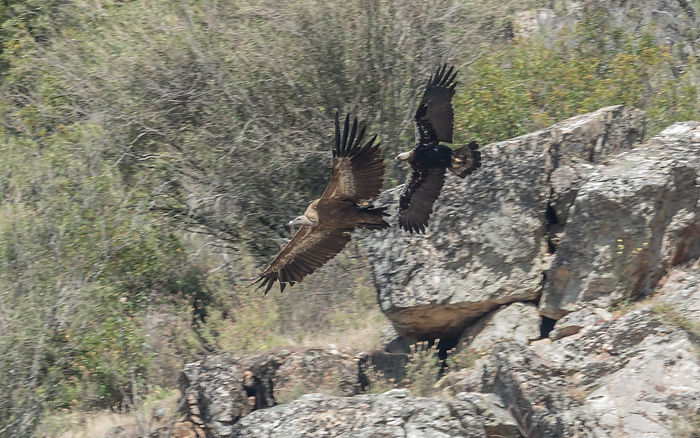 Spanish Imperial Eagle v Griffon Vulture