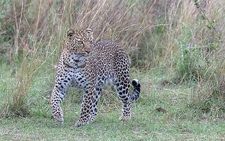 African_Leopard.jpg