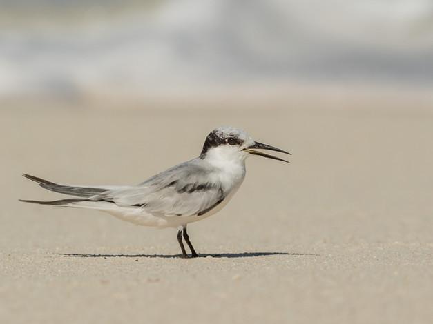 Saunder's Tern