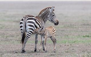 Grant's_Zebra.jpg