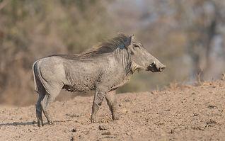 Central_African_Warthog.jpg