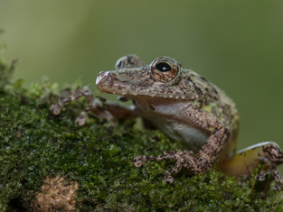Long-snouted Tree Frog