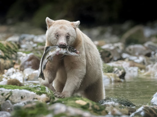 Kermode (Spirit) Bear