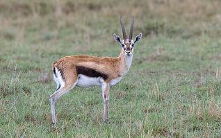 Serengeti_Thomson's_Gazelle.jpg