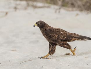 Galápagos Hawk