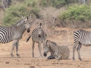 Crawshay's Zebra