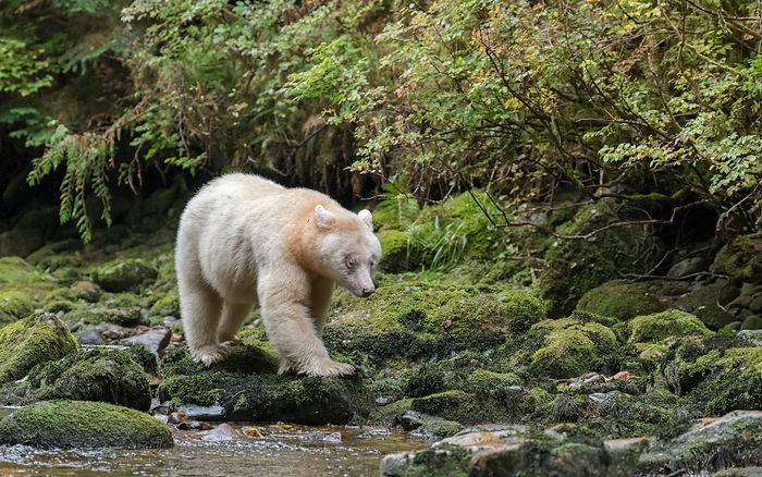 Ma'ha Spirit Bear