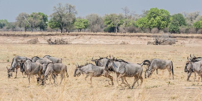 Cookson's Wildebeest