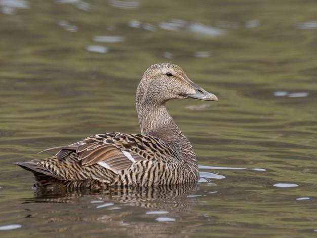 Common Eider (female)