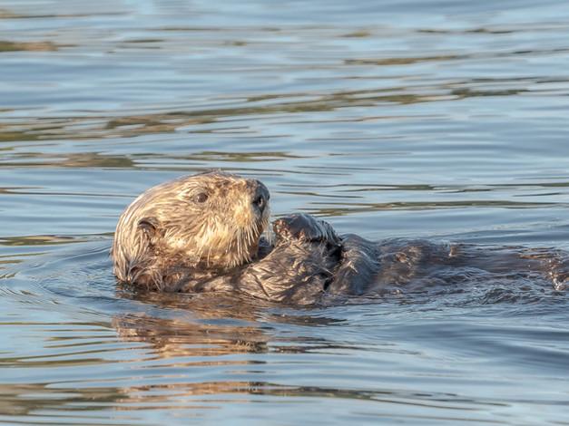 Northern Sea Otter