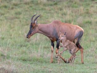 Serengeti Topi