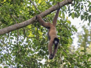 Peruvian Woolly Monkey