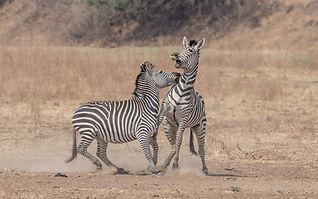 Crawshay's_Zebra.jpg