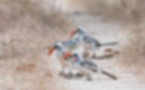 Western Red-billed Hornbills