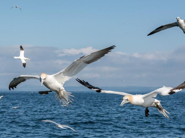 Northern Gannets