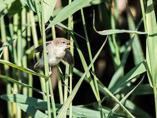 Reed Warbler (juvenile)