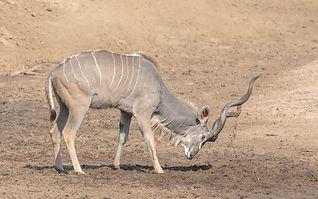 Greater_Kudu.jpg